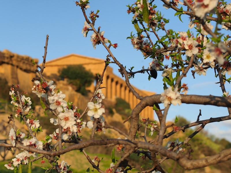 Mandorlo fiorito ad Agrigento